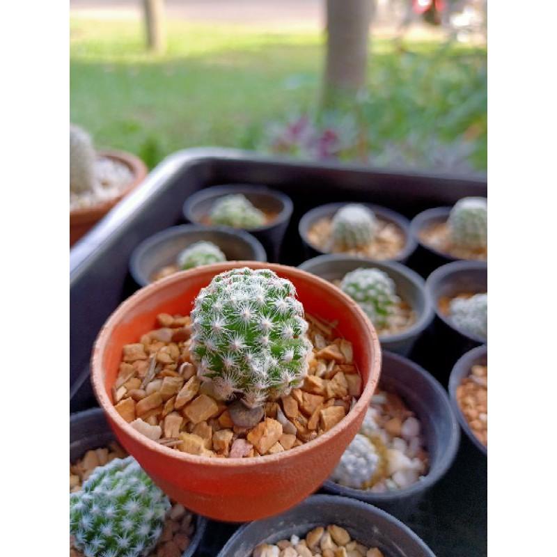 แมมลูกกอล์ฟ Mammillaria Humboldtii 🌸 Cactus แคคตัส กระบองเพชร