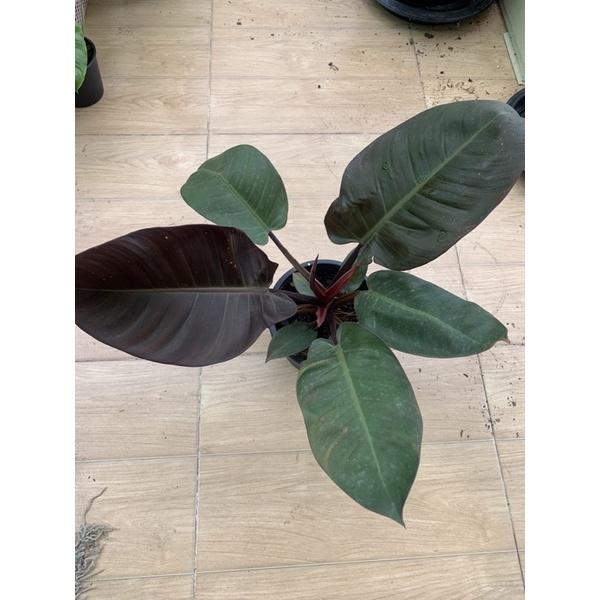 Philodendron Black Cardinal /กุมารดำเรียกทรัพย์