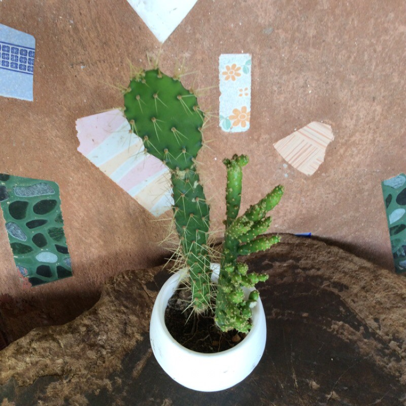 ต้นกระบองเพชร แคคตัส ไม้อวบน้ำ ไม้ประดับ
