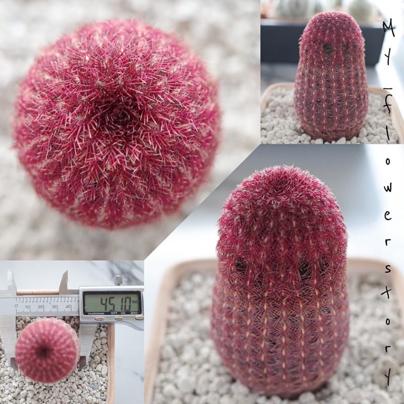 เรนโบว์ แคคตัส Rainbow cactus (หนามแดงทั้งต้นน่าสะสม)