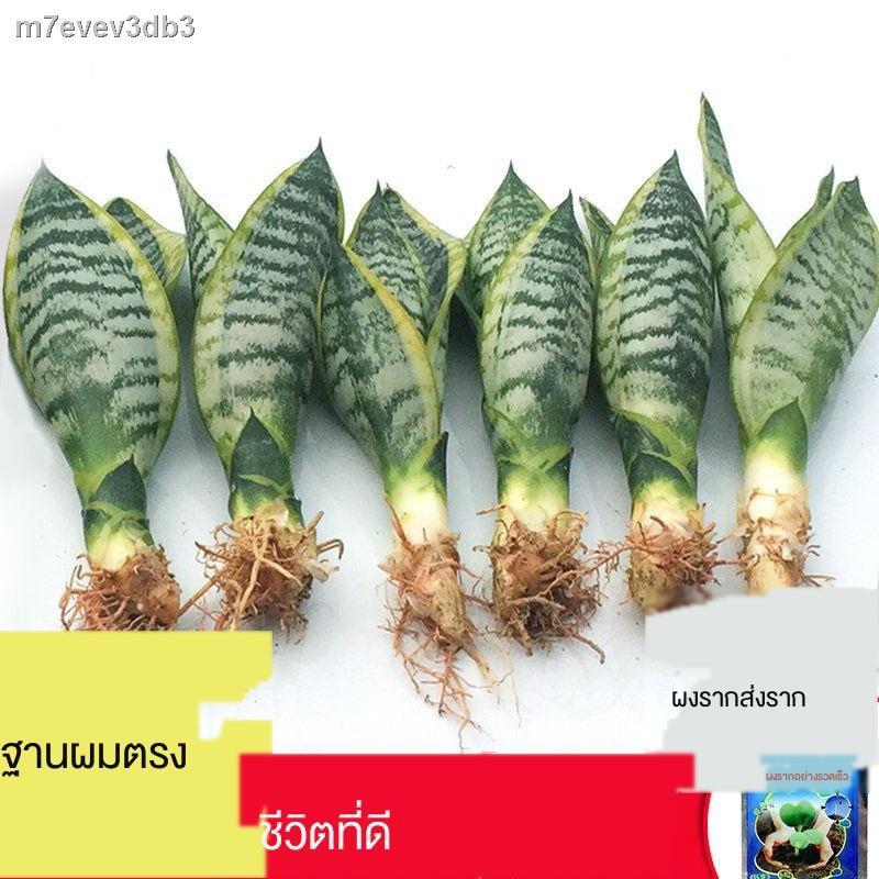 ตกแต่งดอกไม้ปลอม▪☂บ้านหลังใหม่ของ Phnom Penh Tiger Pilan ดูดซับฟอร์มาลดีไฮด์พืชอวบน้ำดอกไม้ในร่มและต้นไม้สีเขียวไม้กระถ