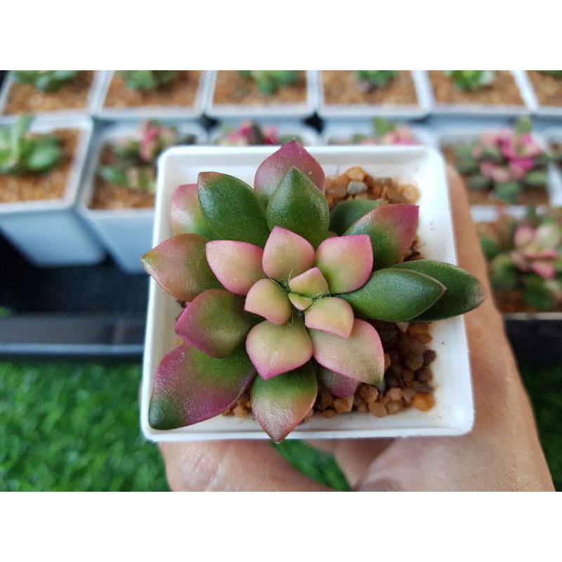 ลูกชุบ 🍒 ไม้อวบน้ำ Cactus & Succulent 🌵