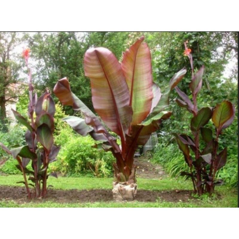 ✧☞✷เมล็ดกล้วย Ensete maurelli seeds , Red banana Seeds , Abyssinian banana, Ethiopian banana Seeds
