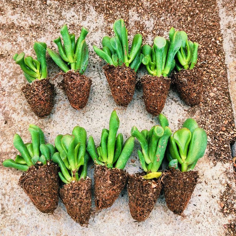 กิจกรรม✌ไม้กระถางไม้อวบน้ำ Ji Xing ความงามในร่มระเบียงไม้อวบน้ำรวมสี่ฤดูพืชอวบน้ำที่ดีขายส่ง