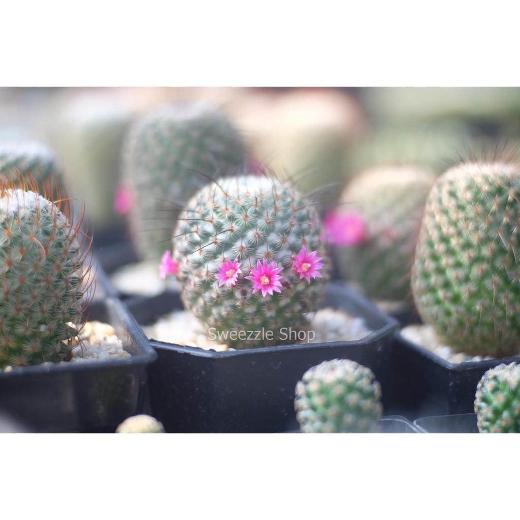 กระบองเพชร แคคตัส (Cactus) แมมฮุย (Mammillaria Huitzilopochtli) จัดส่งทั้งกระถาง