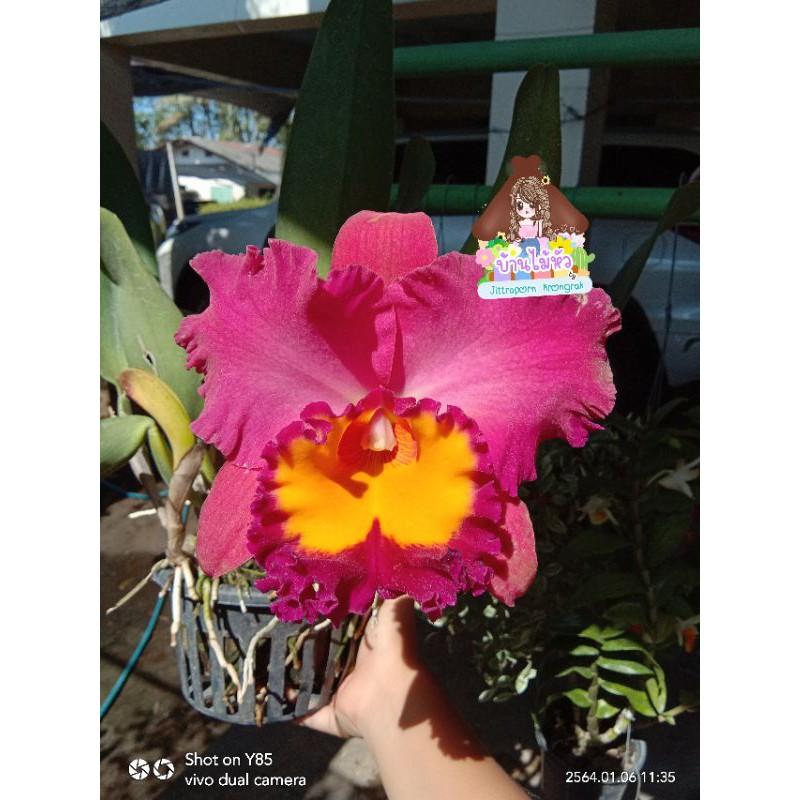 """กล้วยไม้แคทลียา แคทลียา โคราชเรด กระถาง6"""" ไม่ติดดอก แต่ไม้เป็นไซต์ให้ดอกได้แล้วค่ะ"""