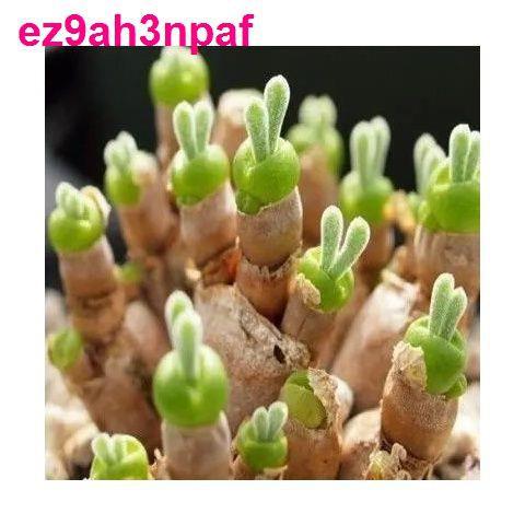 เมล็ดพันธุ์ไม้อวบน้ำนำเข้า, เมล็ดอวบน้ำ, เมล็ดพันธุ์ดอกไม้สี่ฤดู, การอยู่รอดง่าย, ดอกไม้ในกระถาง, พืชสีเขียว, ระเบียงใน