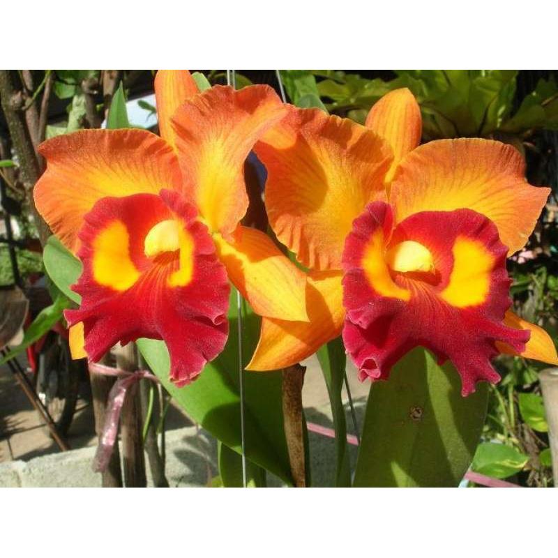 """ต้นกล้วยไม้ แคทลียา (Cattleya)"""" ราชินีแห่งกล้วยไม้ สีส้มเหลือง ไม้พร้อมให้ดอก ดอกใหญ่พิเศษ ดอกหอม ออกดอกตลอด"""