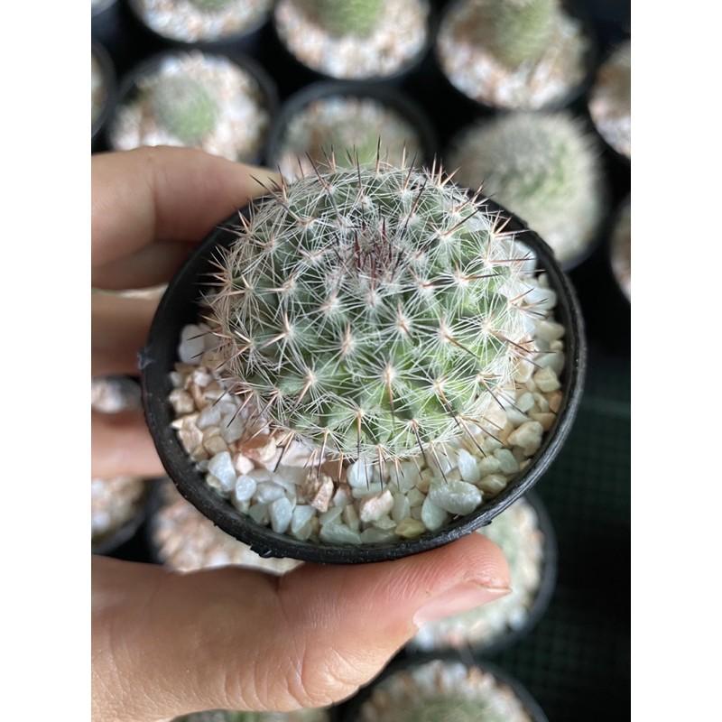 แมมแม่เฒ่า กระบองเพชร cactus