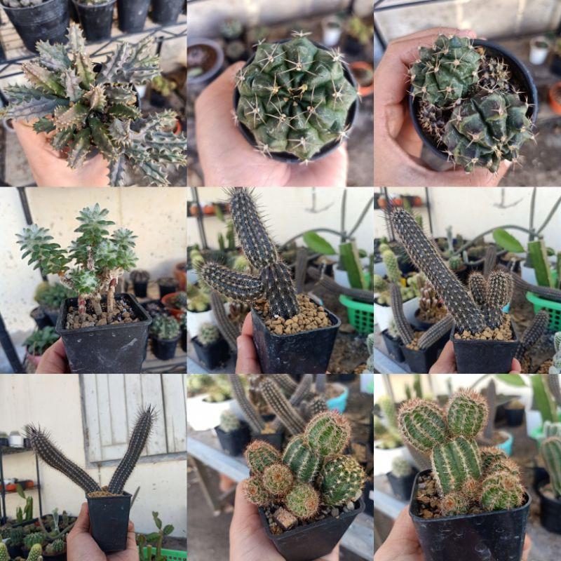 cactusไม้อวบน้ำราคาถูก