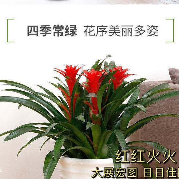 ◈ไม้กระถางฟอร์จูนดังโถว ดอกไม้นำโชค ห้องนั่งเล่นในร่ม ต้นไม้นำโชค เหมาะปลูกดอกไม้ พืชสีเขียว ดอกไม้แห้ง และไม้อวบน้ำ ขาย