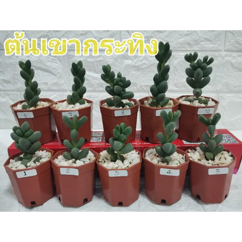 ต้นเขากระทิงไม้อวบน้ำ(succulents)