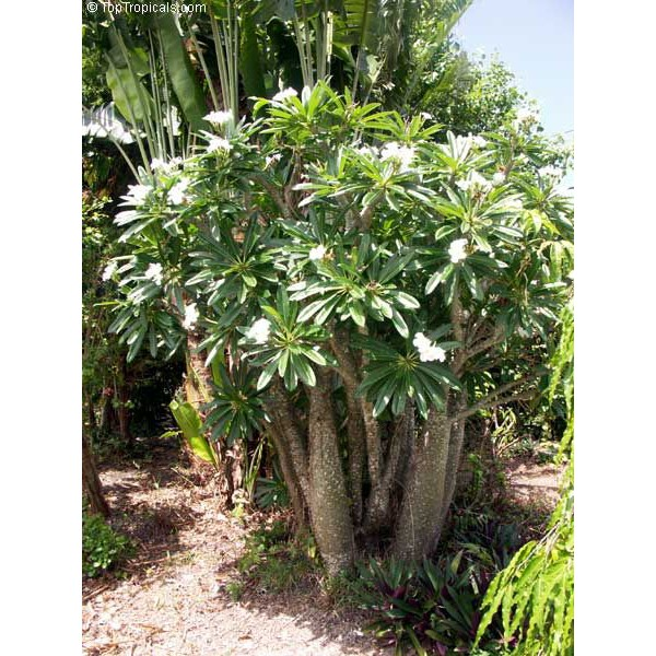 เมล็ดแคคตัส Cactus ไม้อวบน้ำ เมล็ดพันธุ์ Pachypodium Rutebergianum (10 seeds)