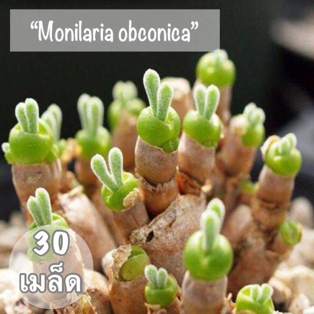 """เมล็ดพันธุ์ ไม้อวบน้ำ """"Monilaria obconica"""" ( หูกระต่าย) 30 เมล็ด"""