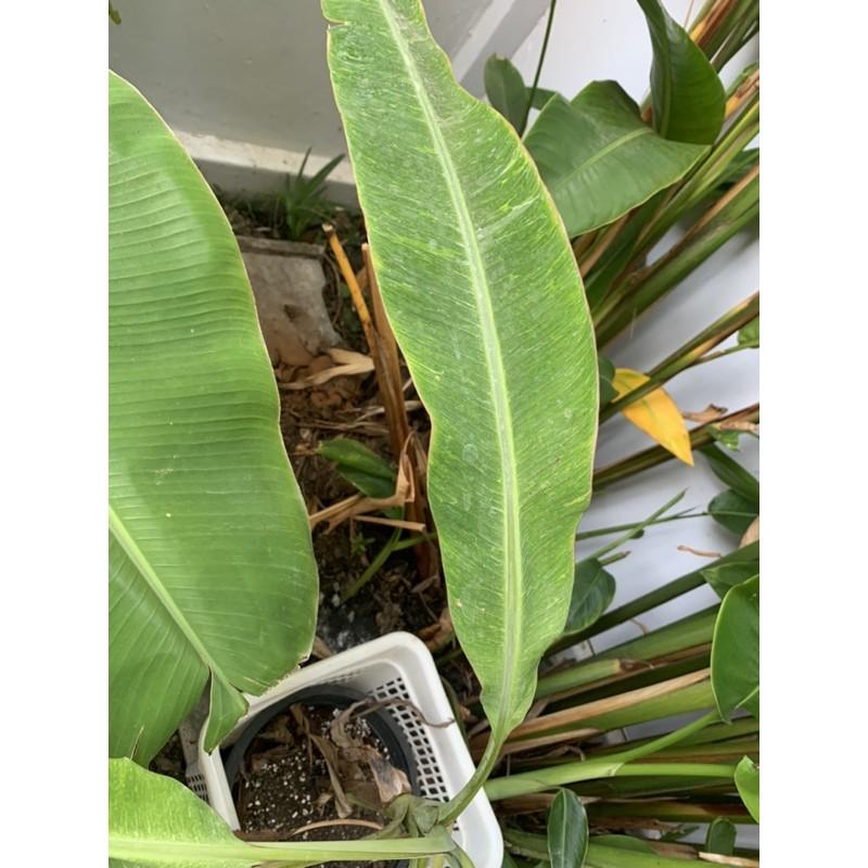 ต้นกล้วยป่าด่างมลายหินอ่อน กล้วยด่าง