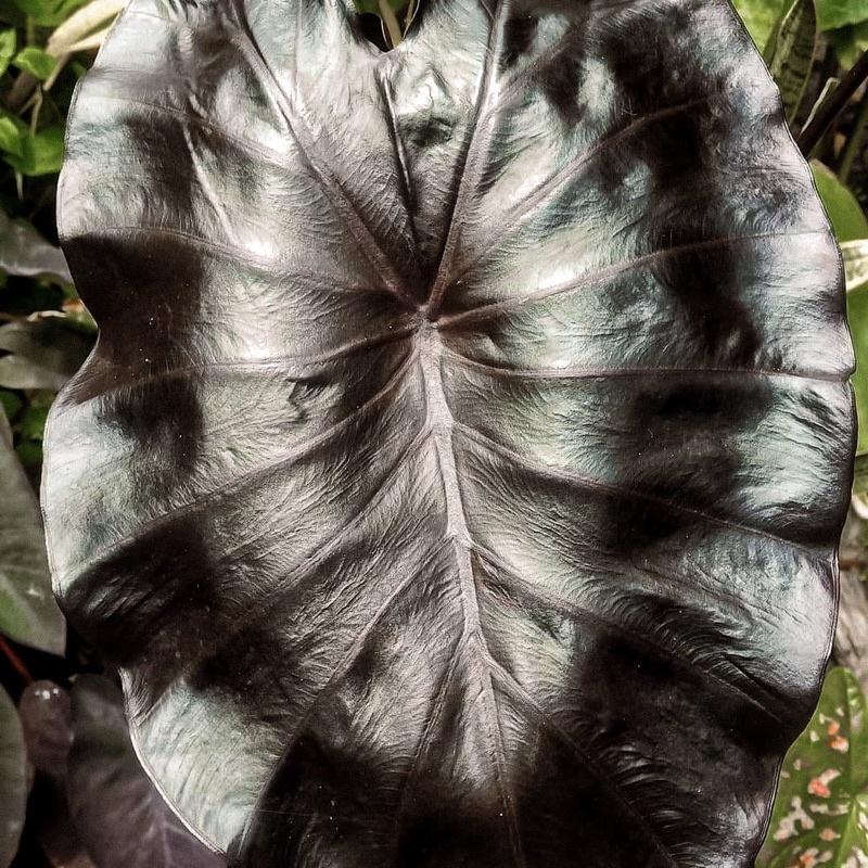 ✜✒✳Colocasia black coral (ขายเมล็ดพันธุ์บอนสี)