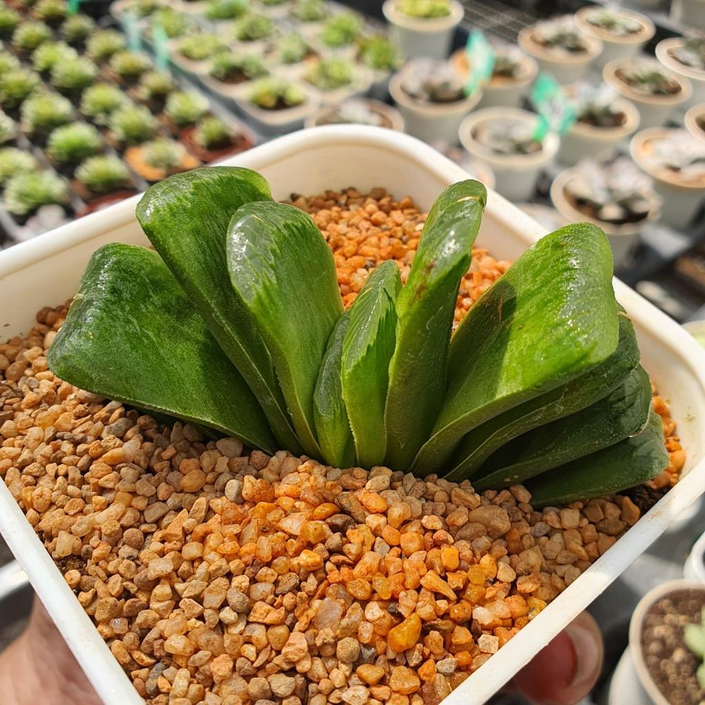 Haworthia Truncata vc Limegreen G Succulents กุหลาบหินนำเข้า ไม้อวบน้ำ