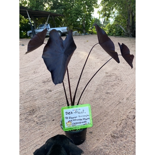 colocasia black coral