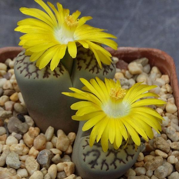 Lithops bromfieldii (เมล็ดพันธุ์ไม้อวบน้ำ)