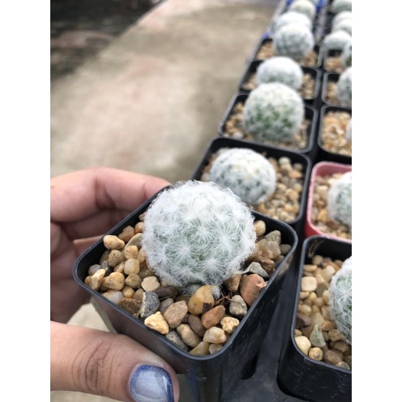 ♡ แมมขนนกขาว Mammillaria plumosa (Cactus)