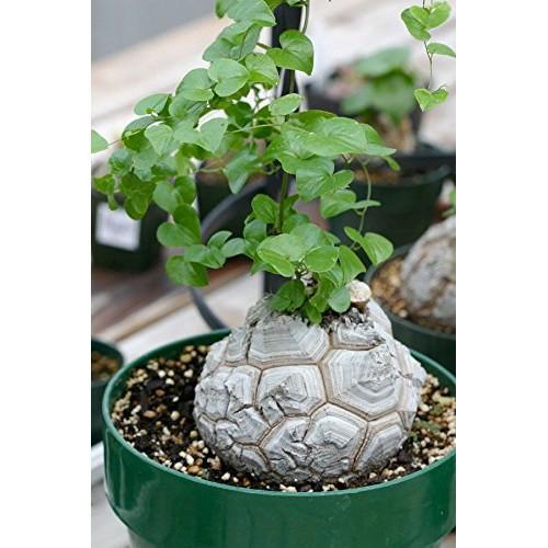 เมล็ดพืชอวบน้ำ ไม้อวบน้ำ Testudinaria Dioscorea elephantipes (5 seeds)