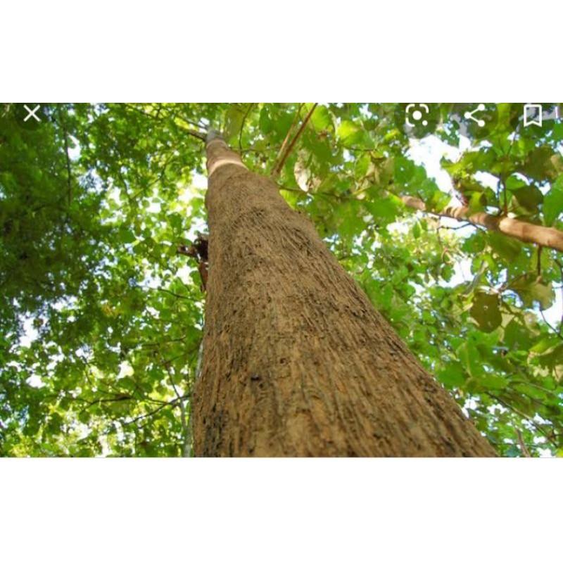 ต้นกล้าไม้สักทองขายเป็นชุด1ชุดมี2ถุงราคา130บาท