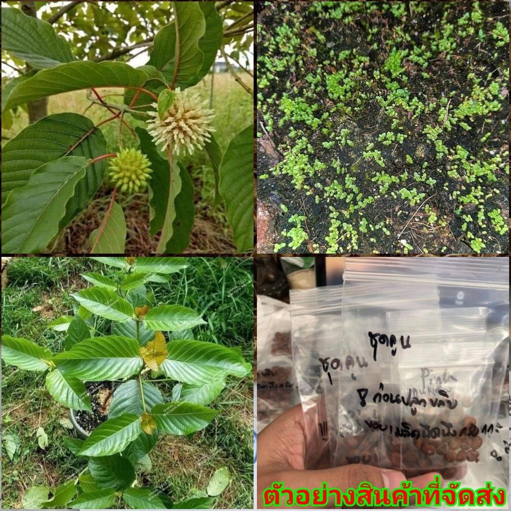 (ขาย เมล็ด ) เกสร ต้นไม้กระท่อม เมล็ดต้นไม้กระท่อม ต้นกระท่อม เมล็ดต้นกระท่อม กระท่อม ก้านแดง ก้านเขียว หางกั้ง  / ณรงค์