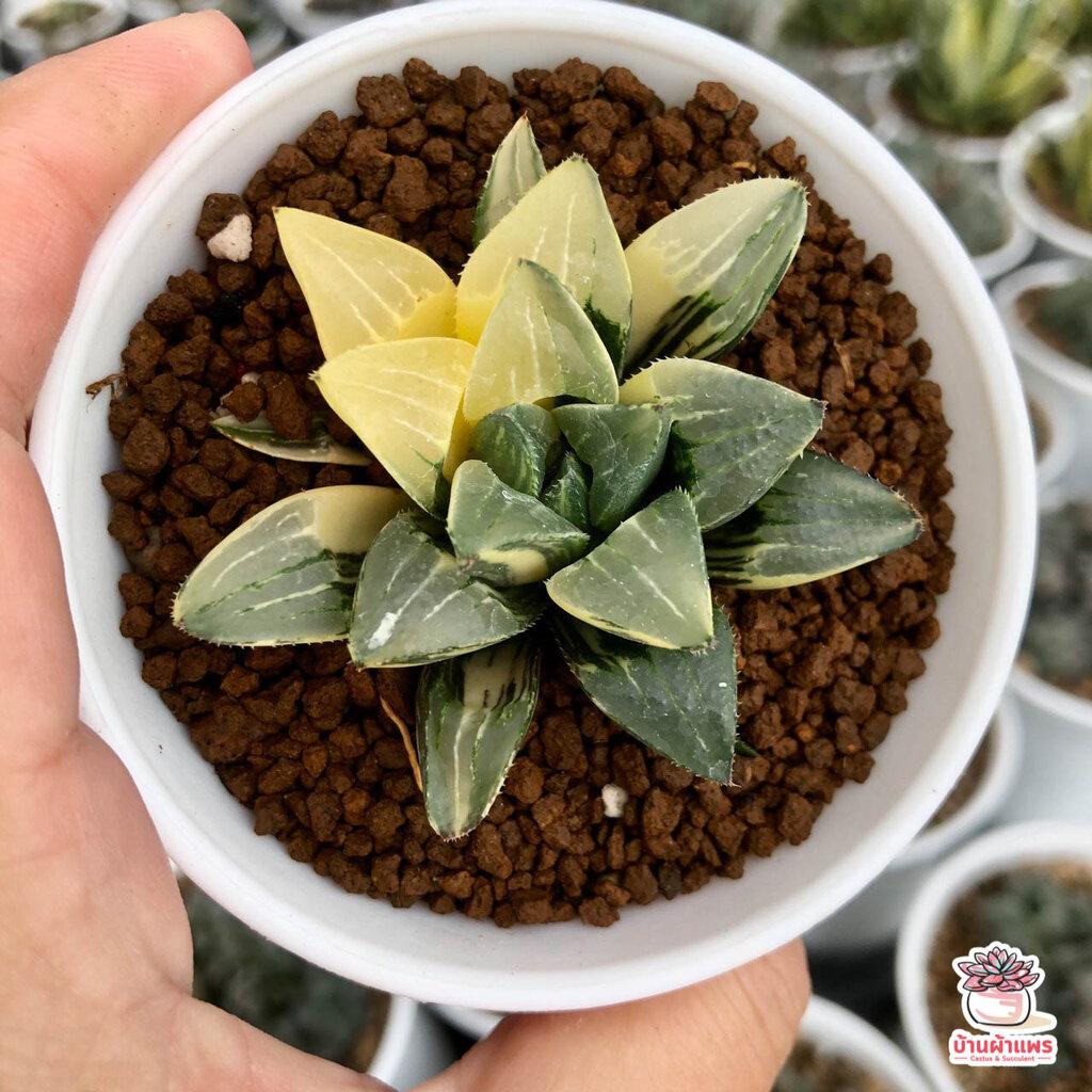 รวมฮาโวเทียด่าง Haworthia variegated ไม้อวบน้ำ กุหลาบหิน cactus&succulentหลากหลายสายพันธุ์