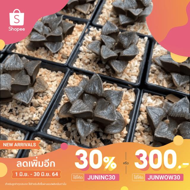 🔥ใช้ JUNINC30 เหลือ 106 บาท🔥 ฮาโวเทีย กุหลาบหินนำเข้า ไม้อวบน้ำ 🌵