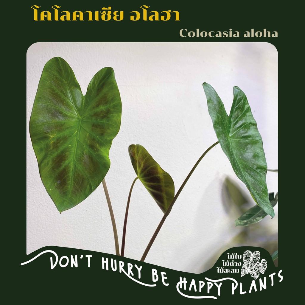 Colocasia Aloha - โคโลคาเซีย อโลฮา