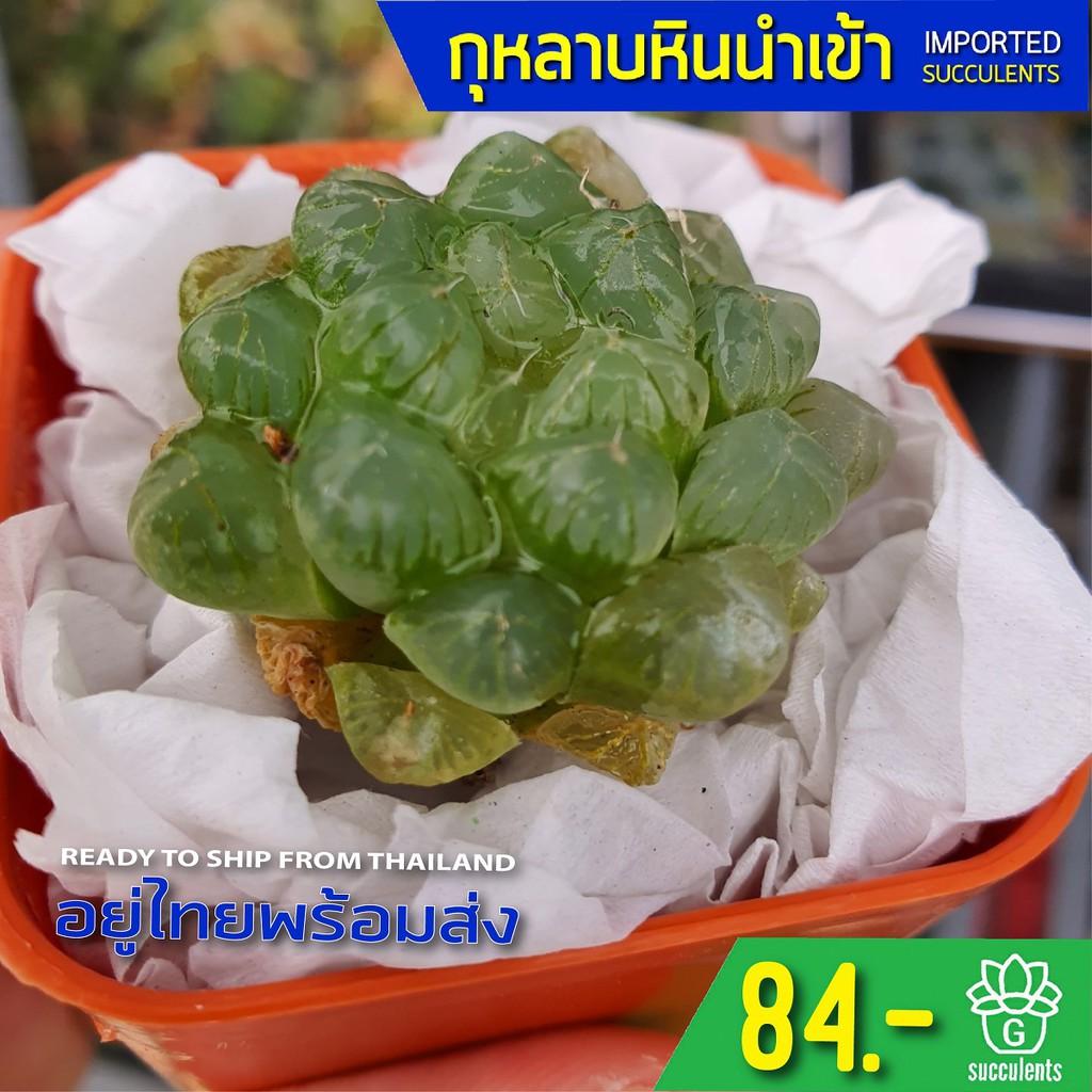 (ไม่มีราก) สินค้าใหม่ พึ่งนำเข้า Haworthia Cooperi var. Trancata G succulents กุหลาบหินนำเข้า ไม้อวบน้ำ