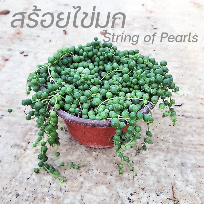 ต้นสร้อยไข่มุก string of pearls ไม้อวบน้ำ เม็ดกลมๆ Curio rowleyanus กระถางใหญ่แน่นๆ กระถาง5.5นิ้ว