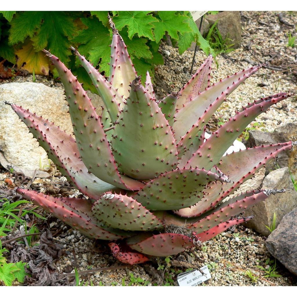 Aloe Marlothii (10 seeds) เมล็ดกระบองเพชร ไม้อวบน้ำ