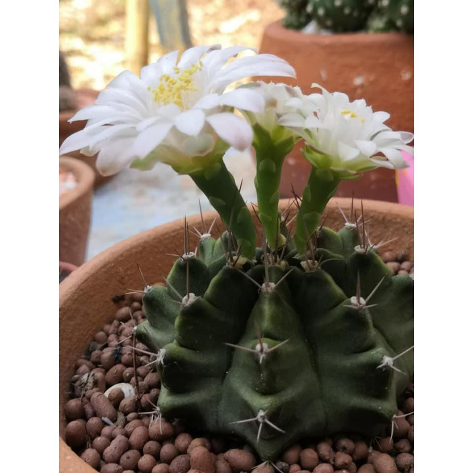 "Gymnocalycium cactus ยิมโนคาไลเซียม"" ยิมโนเขียว ติดตุ่่มดอก กำลังสวย บั้งสวย หนามสวย 1ต้น/ออเดอร์ ไม้สะสม ทนแดด ทนฝน ส่ง"