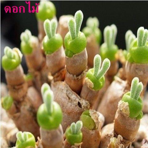 81 แยกซองพร้อมเมล็ดพันธุ์ไม้อวบน้ำ 10 เมล็ดต่อตัวอย่างเมล็ดพันธุ์ไม้อวบน้ำนำเข้าเมล็ดพันธุ์ดอกไม้กระถางระเบียงในร่ม
