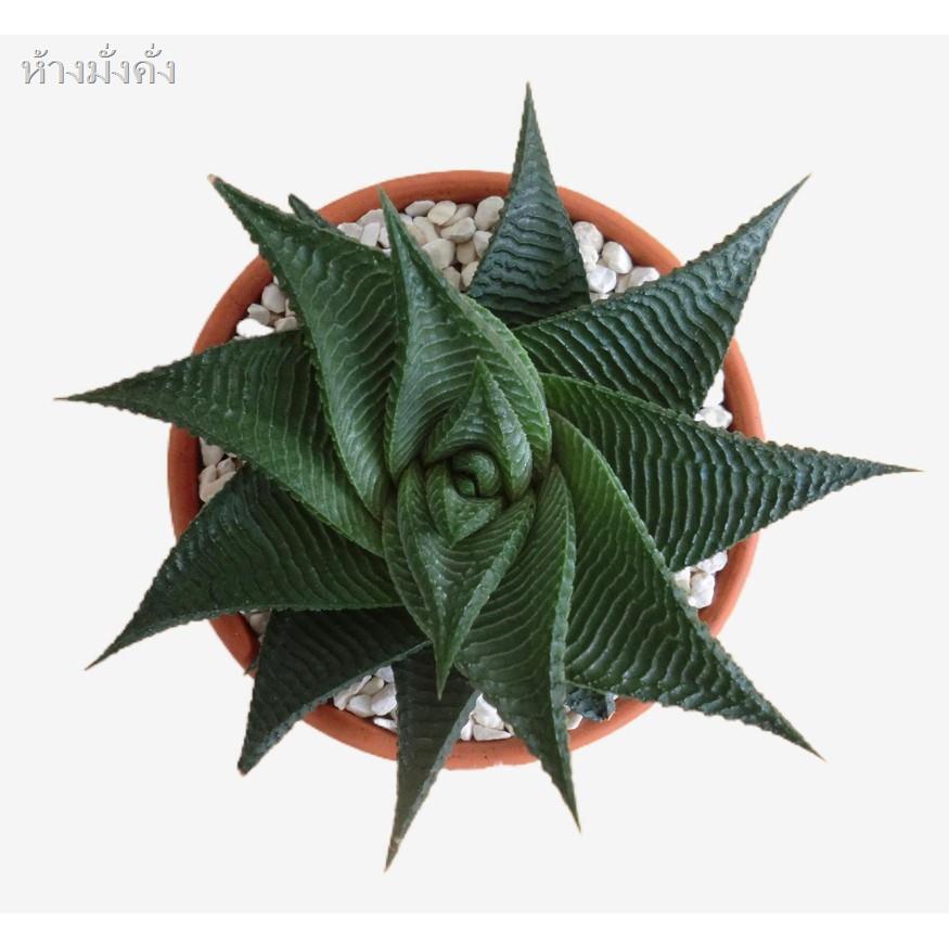 2021 ลดราคาสุดฮอต🎉﹉(liuld)Haworthiopsislimifolia (Marloth) G.D.Rowley ไม้อวบน้ำ ว่านหางจรเข้นำโชค  ไม้อวบน้ำ Succulents1