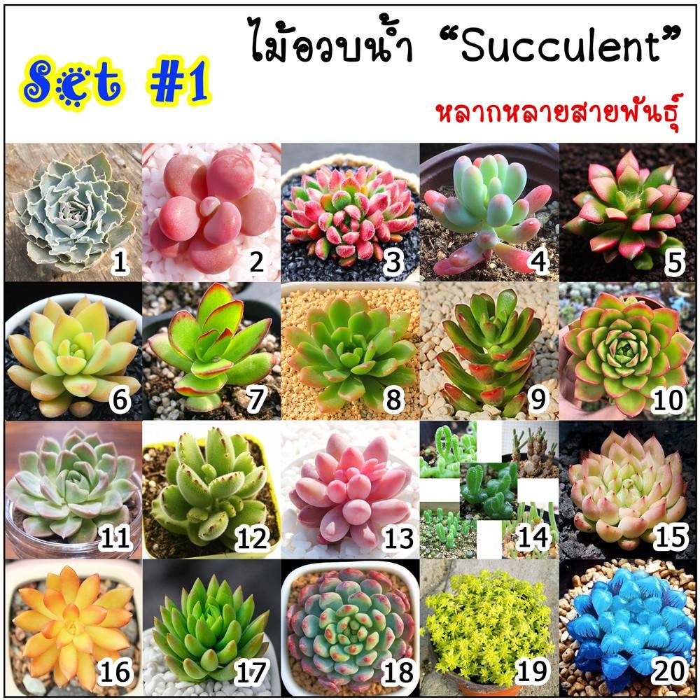🌟สินค้าขายดี 🌟🌿เมล็ดไม้อวบน้ำ Succulent กว่า 40 สายพันธุ์ SET-1