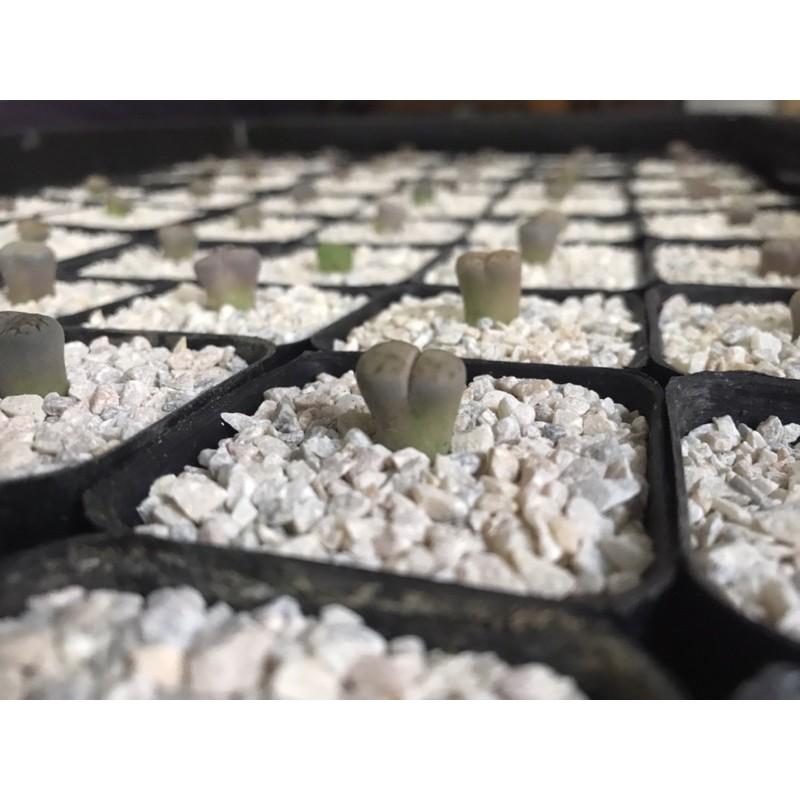 ไลทอปหินมีชีวิตไม้อวบน้ำ