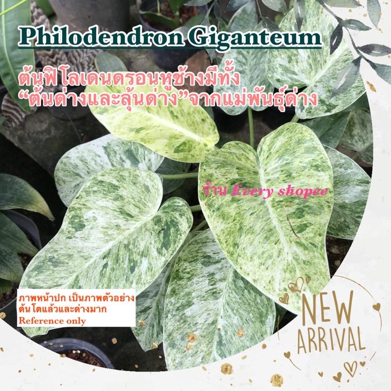 ต้นฟิโลเดนดรอนหูช้างด่างขาวและลุ้นด่าง (Philodendron Giganteum)ไม้เลื้อย