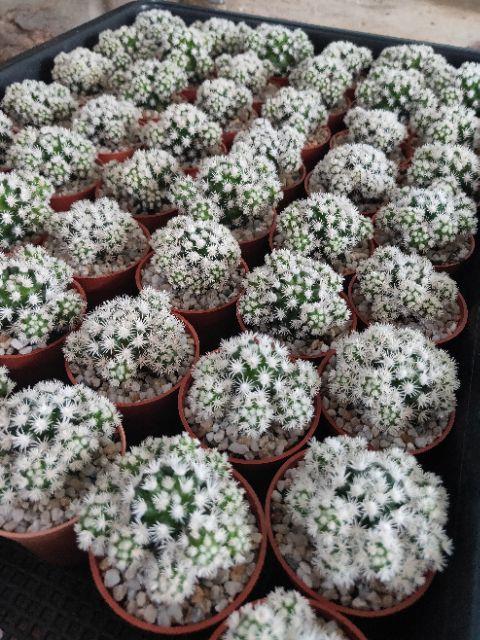 กระบองเพชร แคคตัส (Cactus) สโนว์แคป/Snowcap (Mammillaria gracilis arizona snow) จัดส่งทั้งกระถาง 2/20/20