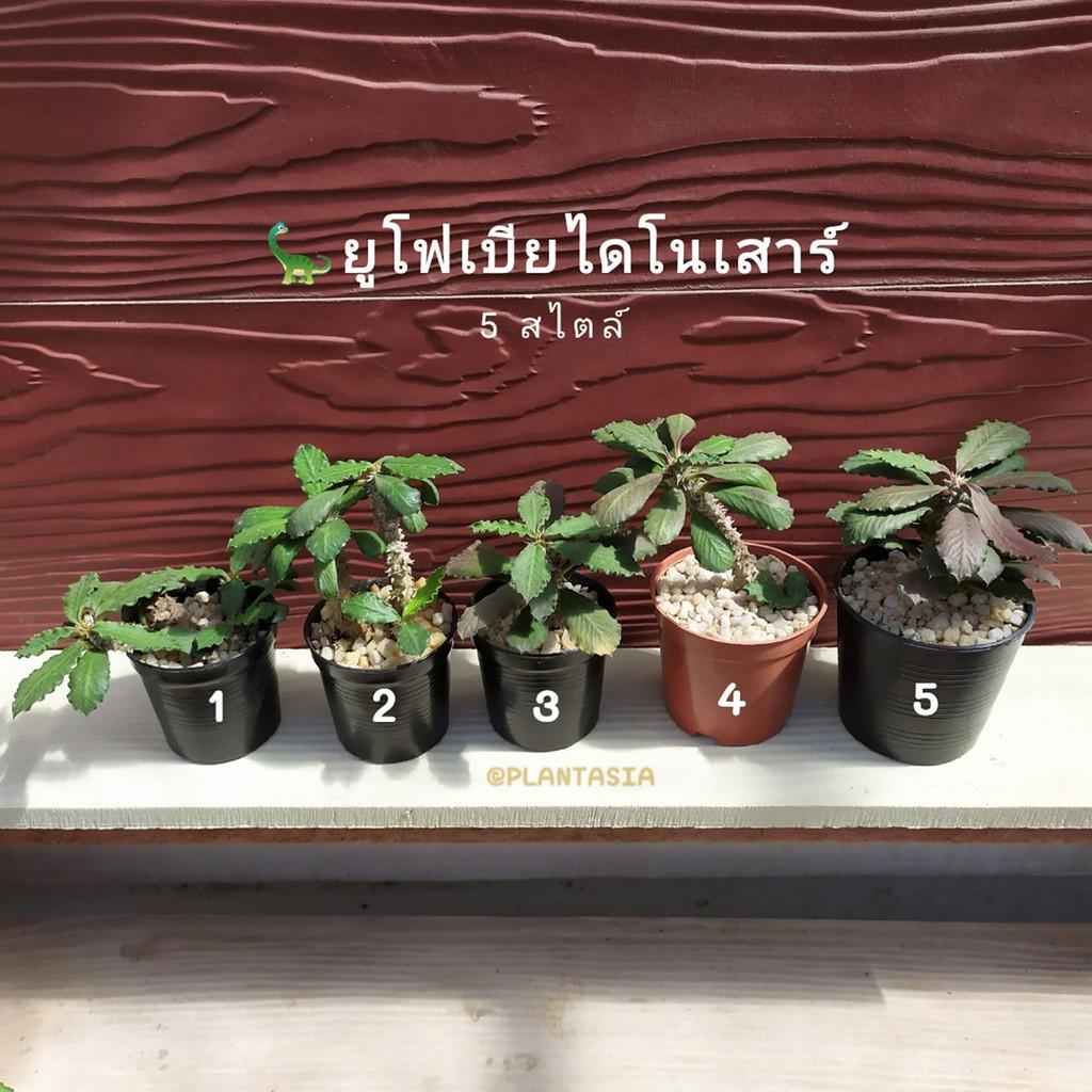 ยูโฟเบียไดโนเสาร์ Euphorbia decaryi ส่งพร้อมกระถาง แคคตัส กระบองเพชร ไม้อวบน้ำ Cactus & Succulent Plantasi