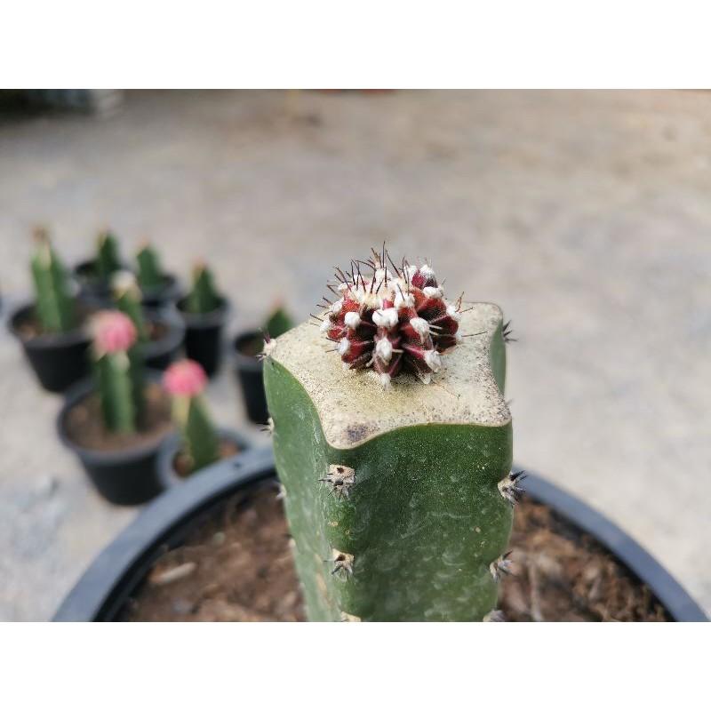 เชาเชา Cactus แคคตัส กระบองเพชร ไม้อวบน้ำ ไม้กราฟ