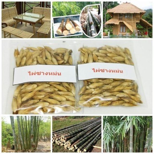 ขายถูก  100บาท 50 เมล็ดไผ่ซางหม่น Dendrocalamus sericeus ไผ่นวลราชินี ไผ่ ไม้ไผ่ Bamboo