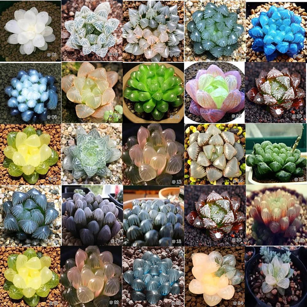 🌟สินค้าขายดี 🌟🌿เมล็ดไม้อวบน้ำ Succulent กว่า 20 สายพันธุ์