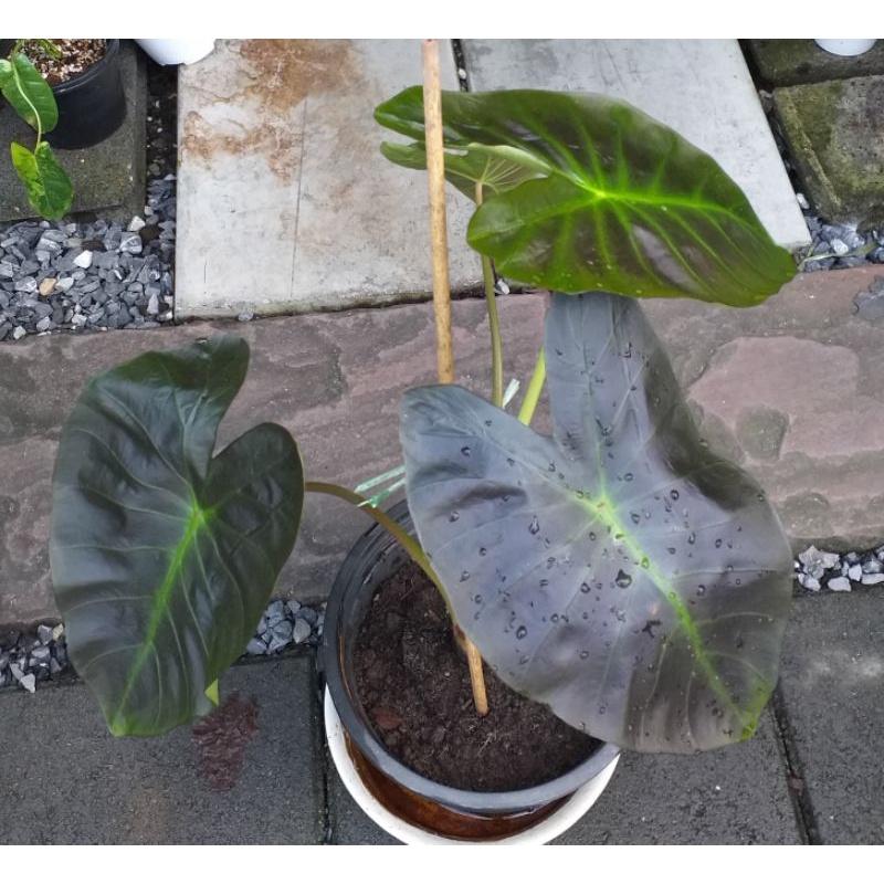 ต้นบอนอะโลฮ่า Colocasia Aloha