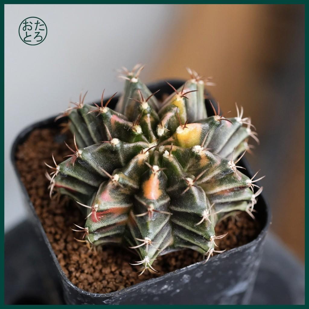 [ ส่งฟรี ]  ยิมโนด่างไม้เพาะเมล็ด, Gymnocalycium Mihanovichii Variegata ( Seedling ), ต้นกระบองเพชร Cactus #053