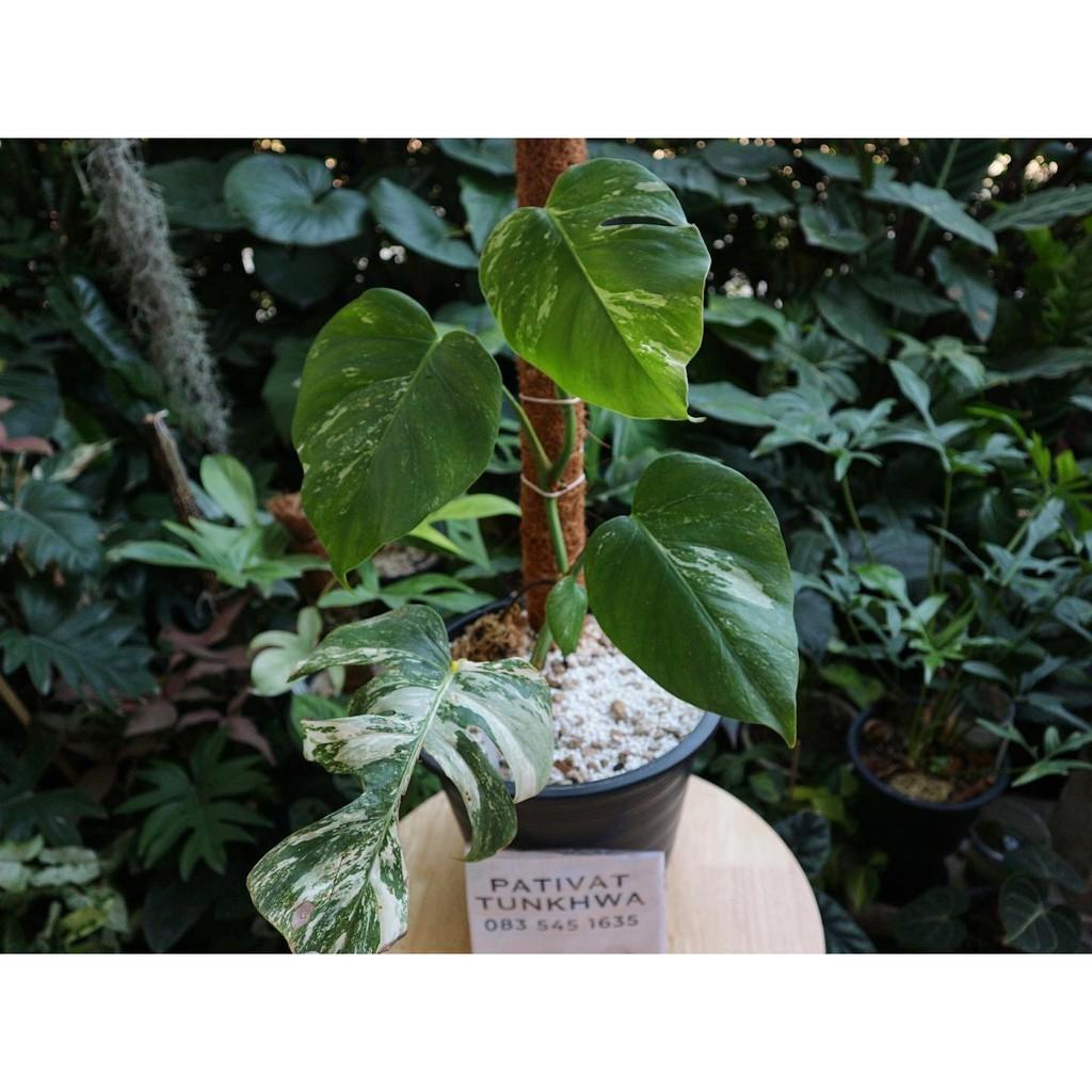 มอนสเตอร่า อัลโบ้ ฮอลแลนด์ Monstera borsigiana albo variegata (holland)