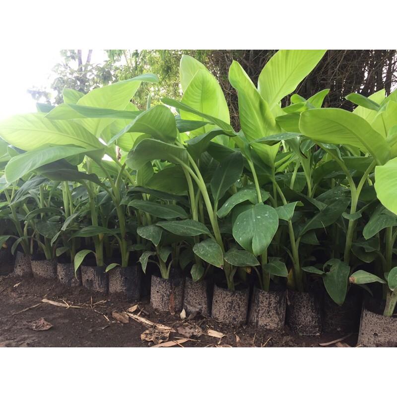 ต้นกล้วยเพาะเนื้อเยื่อพันธุ์น้ำว้าปากช่อง50และหอมทองราคานี้รับ2ต้น