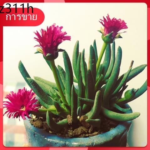 Succulents เมล็ด กุหลาบหิน ✸ไม้อวบน้ำ Benlong ไม้กระถาง ไม้อวบน้ำ ไม้กระถางสีเขียวในออฟฟิศ โปรโมชั่นจัดส่งฟรี♀