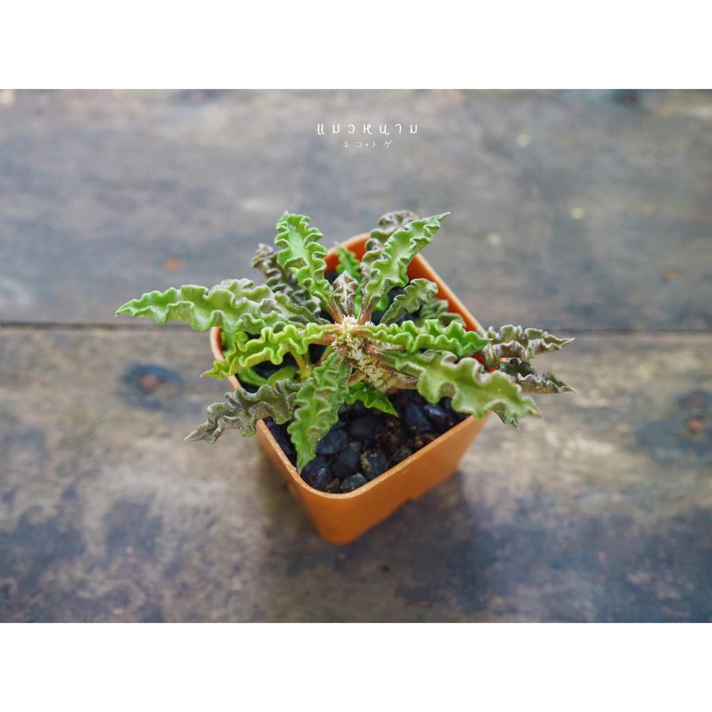 ไม้อวบน้ำ ไดโนเสาร์ใบหยัก 💚 Euphorbia decaryi var. spirosticha